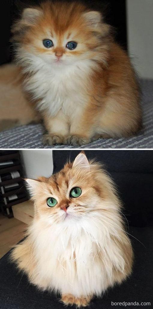 30張會萌垮人的超可愛貓貓「小時候VS.長大」比對圖!貓界顏值爆表的雙胞胎長大了!