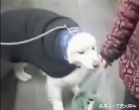 有一種冷叫做奶奶覺得狗狗冷,心疼雪橇犬三分鐘!